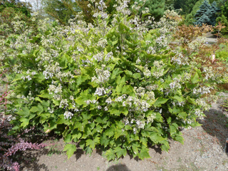 Clematis heracleifolia var. davidiana
