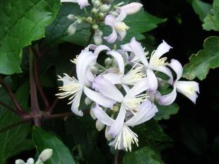 Clématite herbacée Clematis x jouiniana 'Praecox'
