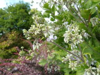 Clématite herbacée (Clematis heracleifolia)