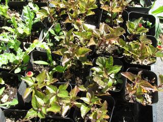 Cresson de Para : jeunes plants en godets