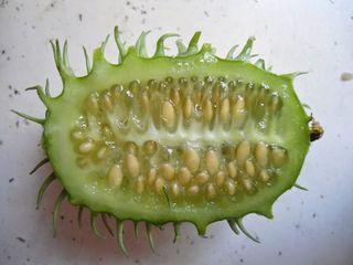 Concombre des Antilles coupé