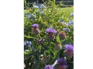 Cardons en fleurs et plumbago