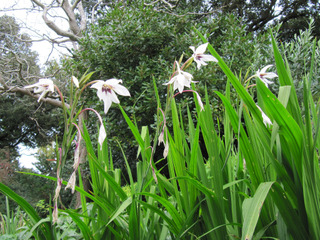 Glaieuls d'Abyssinie (Gladiolus callianthus)