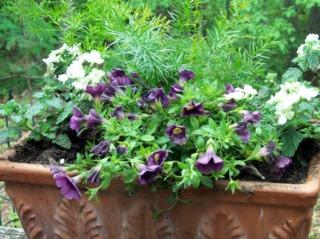 Calibrachoa, Verbena et Asparagus en jardinière