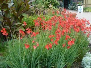 Lis des cafres schizostylis coccinea plantation for Cafres este jardin