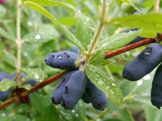 Camérisier (Lonicera caerulea var. edulis)