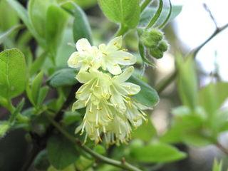 Lonicera caerulea var kamtschatica