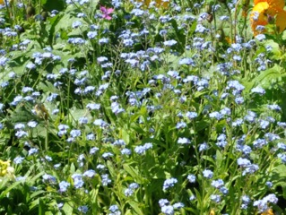 Myosotis haut 'Corbeille Bleue'