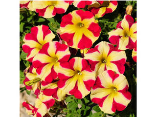 Pétunia Amore® Queen of Hearts rouge