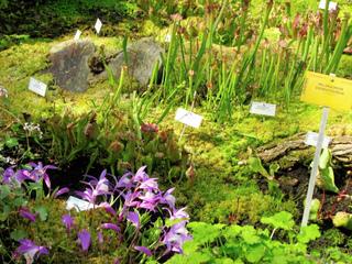 Pleione formosana et plantes carnivores