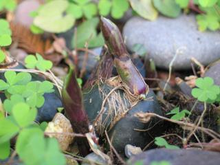 Pseudo-bulbe de pléione
