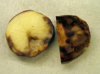 Phytophthora infestans sur pomme de terre
