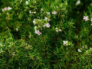 Westringia longifolia, Romarin d'Australie