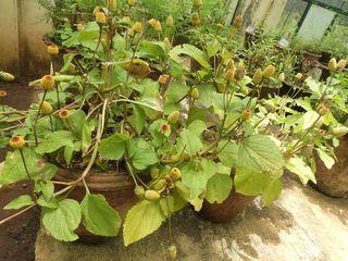Cresson de Para, Spilanthes oleraceae