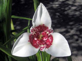 Tigridia blanc, Tigridia pavonia 'Alba'