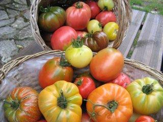 Tomates du jardin issues de semis