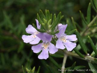 Westringia longifolia : fleurs