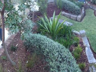 Westringia longifolia taillé en topiaire