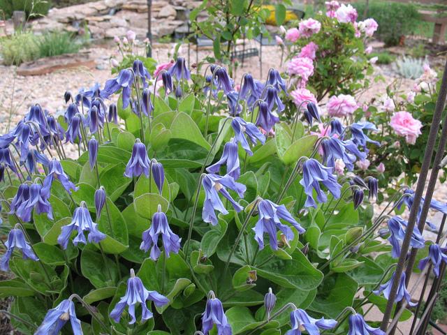 Clématites : associez les espèces pour des fleurs toute l'année