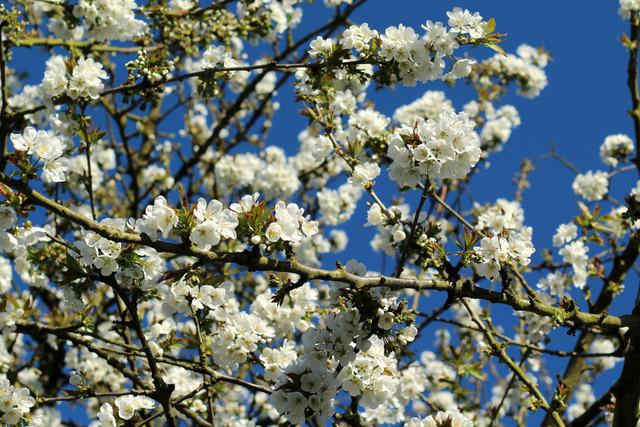 Fleurs de cerisier (Fruitiers en fleurs)