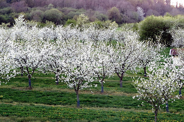 Cerisiers en Lorraine