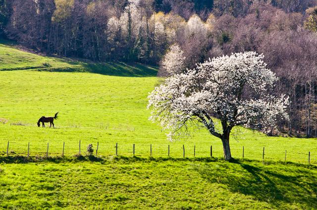 Cerisier en bordure de pré