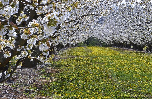 Cerisiers en fleurs dans un verger