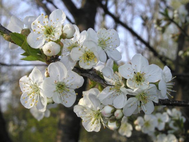 Fleurs de poirier (Fruitiers en fleurs)