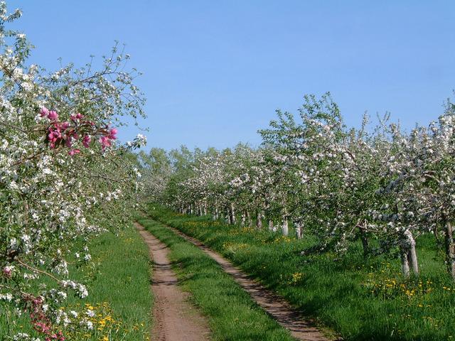 Chemin à travers les pommiers en fleurs