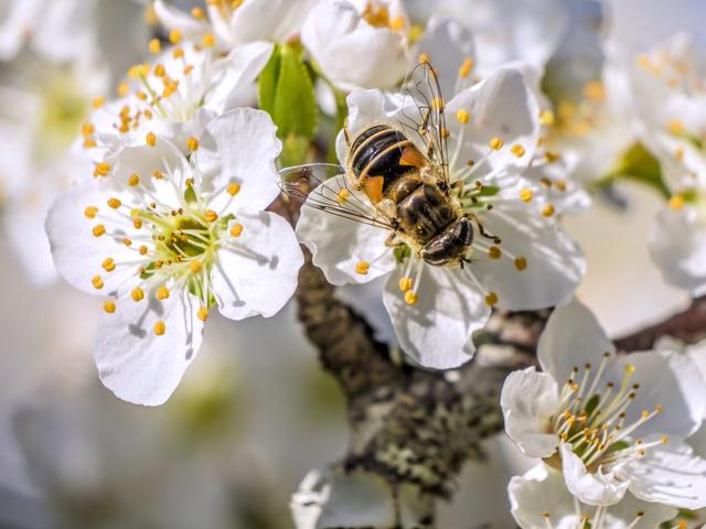 Fleurs de prunier et insecte pollinisateur (Fruitiers en fleurs)