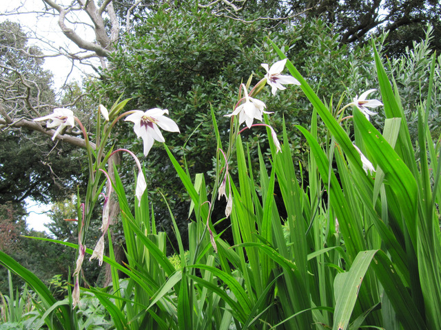 Glaïeul d'Abyssinie, Gladiolus callianthus