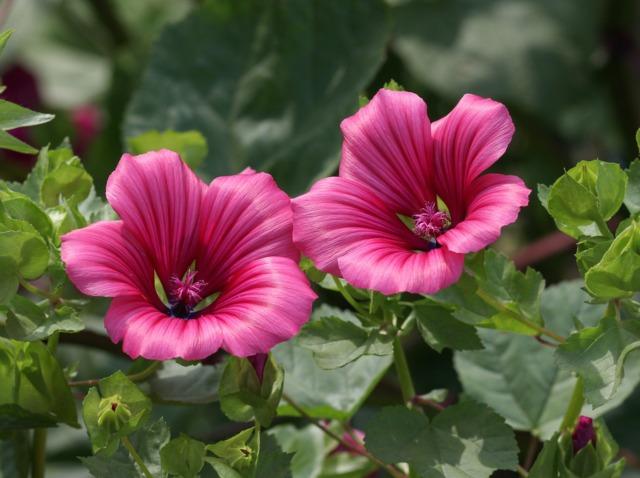 Mauve annuelle, Lavatera trimestris : semis, culture, variétés