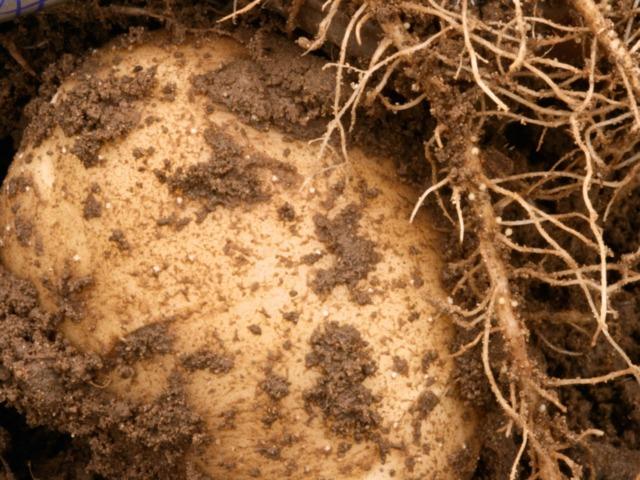 Comment liminer les parasites les rem des naturels - Traitement pomme de terre ...