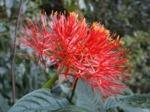 Ail rouge, Scadoxus multiflorus, Haemanthus multiflorus