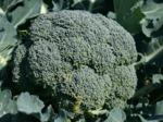 Brocoli : semis, culture et récolte