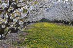 Diaporama : Fruitiers en fleurs