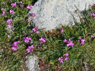 Arabis blepharophylla, arabette de Californie