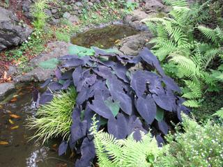 Colocasia esculenta au bord d'un bassin
