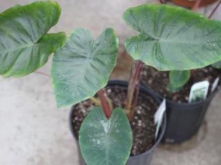 Colocasia : jeune plant