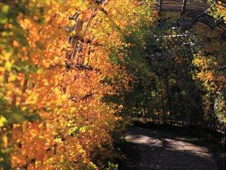 Glycine japonaise - feuillage d'automne