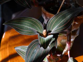 Ludisia discolor, orchidée-bijou