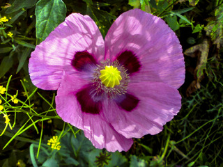 Papaver rhoeas - variété rose