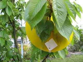 Piéger les mouches de la cerise avec un piège bio