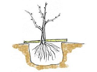 Plantation au niveau du point de greffe
