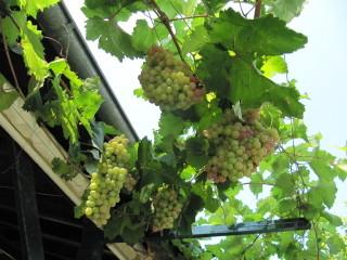 Treille (vigne palissée sur une pergola)