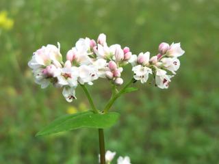 Sarrasin : fleurs