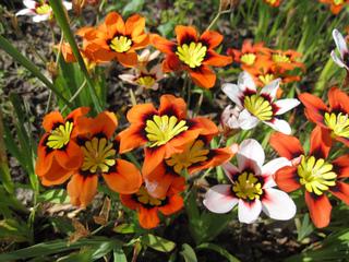 Sparaxis : plantation, culture, entretien et espèces