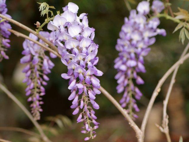 Glycine (wisteria)