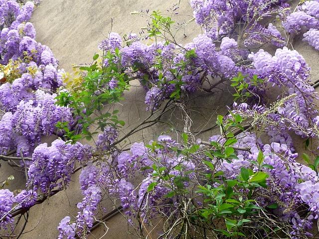 Glycine wisteria for Couverture plante hiver