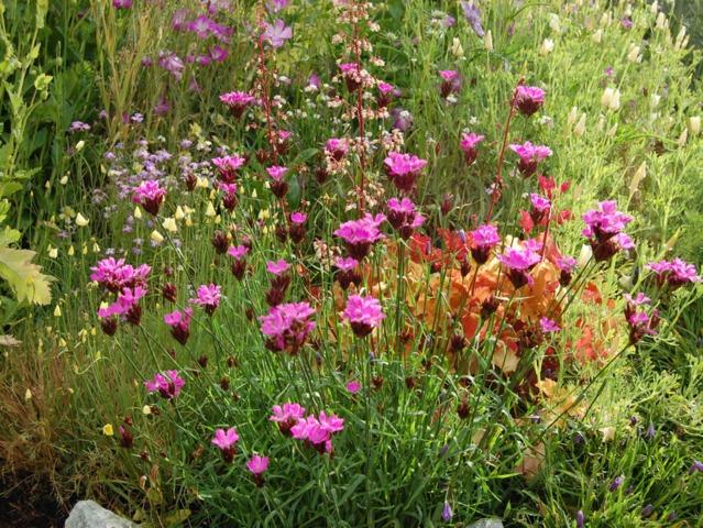 Oeillet des Chartreux, Dianthus carthusianorum : semis, culture, entretien